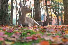 Deers in Nara park and red leaf on the ground Royalty Free Stock Photography