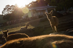 Deers in Nara park Stock Photos