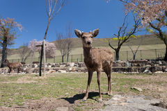 Deers in Nara park. On the sunny day Royalty Free Stock Images