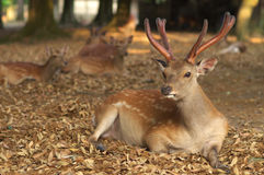 Deers of Nara Stock Photos