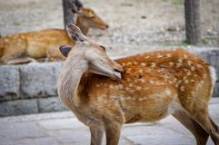 Deers of Nara wandering free Japan. Very much one of the main tourist attractions and points of interest in the area royalty free stock photo