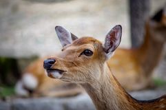Deers of Nara wandering free Japan. Very much one of the main tourist attractions and points of interest in the area royalty free stock photos
