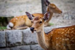 Deers of Nara wandering free Japan. Very much one of the main tourist attractions and points of interest in the area stock images