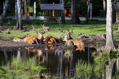 The deers near the pond Stock Images