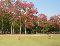 Deers near Todaiji temple. In Nara, Japan Royalty Free Stock Photos
