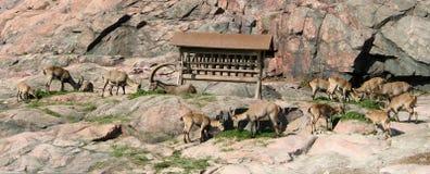 Deers nel giardino zoologico di Helsinki Fotografia Stock Libera da Diritti