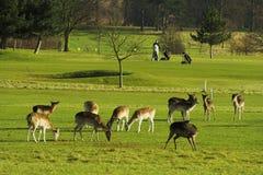 Deers no campo do golfe Fotografia de Stock Royalty Free