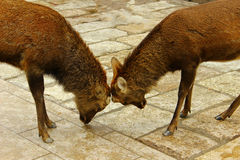 Deers no horn. Nara Deers of Nara ,Japan are fighting without horns Royalty Free Stock Photo
