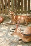 Deers odpoczywać zdjęcie royalty free