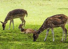 Deers op het gras Stock Afbeeldingen