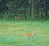 Deers op weide Royalty-vrije Stock Foto's