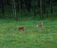 Deers op weide Stock Foto
