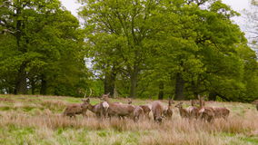 Deers on the open field. Red Deers on the open field in the Richmond Park, London