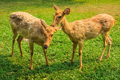 Deers in open zoo Stock Image