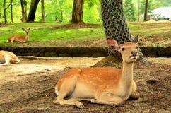 Deers på den Todai-ji templet i Nara Japan royaltyfria bilder
