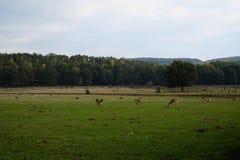 Deers på en beta eller en lantgård, film gillar, sommar Arkivfoton
