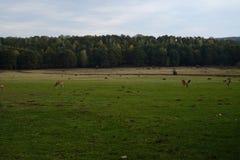Deers på en beta eller en lantgård, film gillar, sommar Royaltyfria Foton