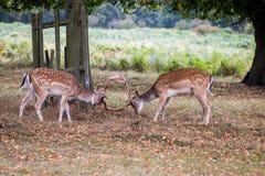 Deers på lek arkivfoton