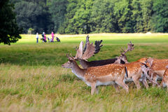Deers par un terrain de golf Image libre de droits