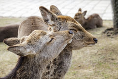 Deers in the park. Portrait of deers in the park Stock Image