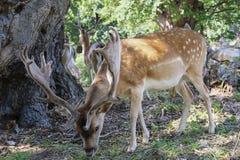 Deers pasają w lasu parku fotografia stock