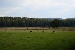 Deers on a pasture or farm, film like, summer Stock Photos