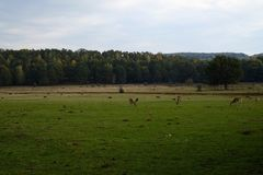 Deers on a pasture or farm, film like, summer Royalty Free Stock Photos
