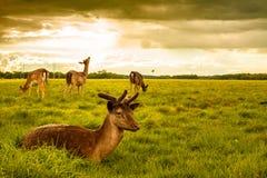 Deers at Phoenix Park. Brown Deer Laying on Grass at Phoenix Park, Dublin Stock Image
