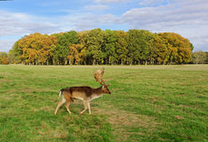 Deers in Phoenix Park Stock Images