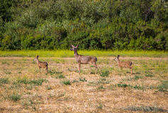 Deers Stock Photo