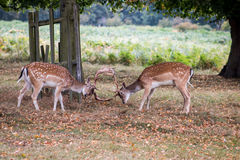 Deers at play stock photos