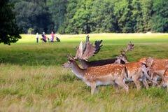 Deers por um campo de golfe Imagem de Stock Royalty Free
