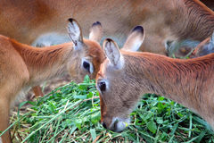 Deers Portrait, Animal Feeding Stock Photo