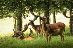 Deers przy Phoenix parkiem dublin Irlandia obraz royalty free