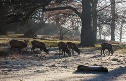 Deers in Richmond Park Royalty-vrije Stock Foto's