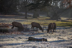 Deers in Richmond park. Early December, London Royalty Free Stock Photography