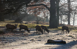 Deers in Richmond park. Early December, London Royalty Free Stock Photos