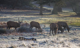 Deers in Richmond park. Early December, London Royalty Free Stock Images