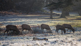 Deers in richmond park. Early January Stock Photos