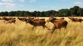 Deers in Richmond park. Deers herd in Richmond park, London Royalty Free Stock Images