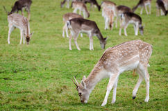 Deers in Richmond Park Stock Images