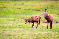 Deers in Richmond Park Royalty Free Stock Photo