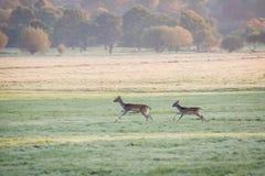 Running deers. Deers in Richmond Park,London Royalty Free Stock Images