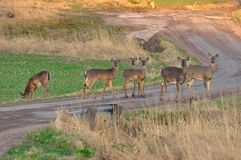 Deers on the road royalty free stock photos