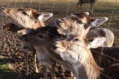 Deers rojo Fotos de archivo libres de regalías