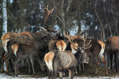 Deers rossi immagini stock