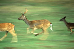 Deers Running Fotos de Stock Royalty Free