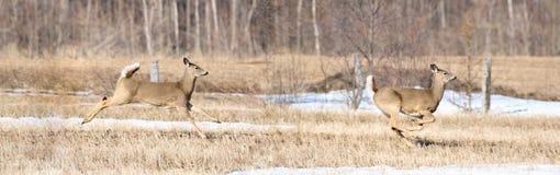 Deers running Royalty Free Stock Photo