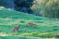 Deers in rut chasing each other Royalty Free Stock Photos