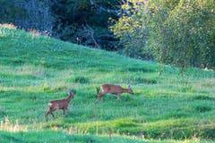 Deers in rut chasing each other. Deer in rut chasing each other in the meadow Royalty Free Stock Photos